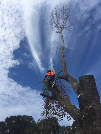 Arborist In Tree In Newcastle