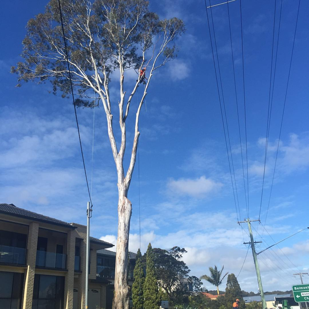 Removal of over mature Eucalyptus tereticornis in a confined space @scottybarwick